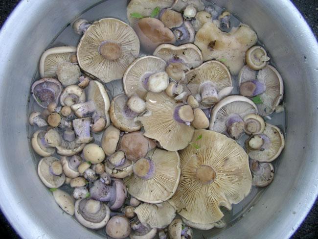 Рецепт грибов синяя ножка